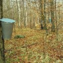 Maple Syrup: The Precarious Production